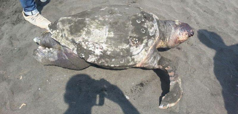 Cadavere di una tartaruga trovato sull 39 arenile del lido - Pagine di colorazione tartaruga ...